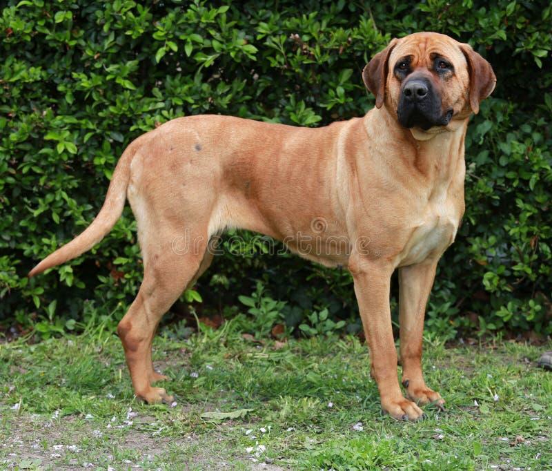 Ritratto del cane di sheperd di inu di Tosa contro sfondo naturale verde immagine stock