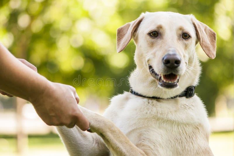 Ritratto del cane dorato della razza mista fotografia stock