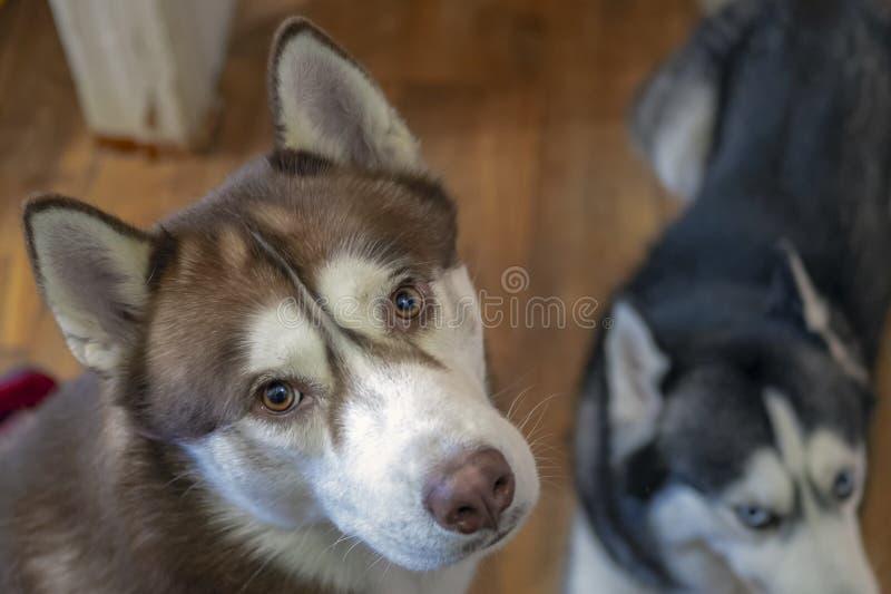 Ritratto del cane del husky siberiano, vista superiore Cane rosso di Brown con gli occhi ambrati fotografia stock