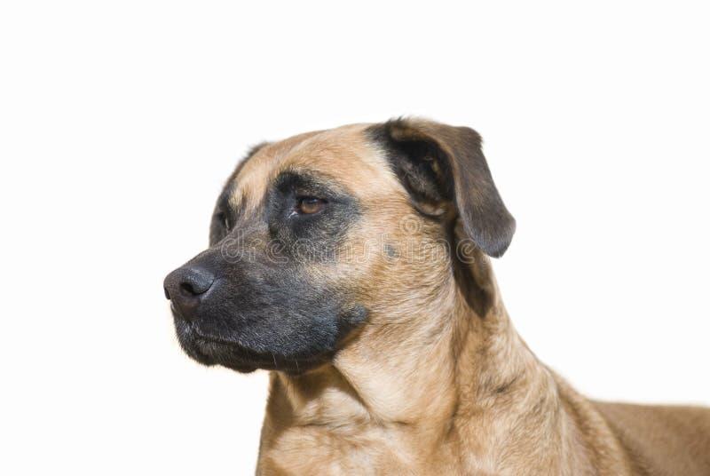 Ritratto del cane isolato su bianco immagine stock