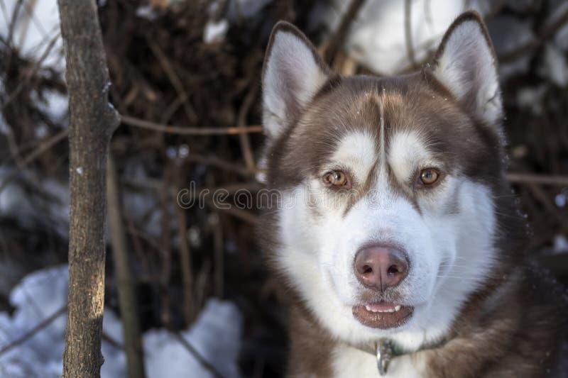 Ritratto del cane marrone del husky, esaminante macchina fotografica fotografie stock