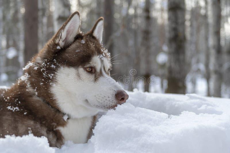 Ritratto del cane marrone del husky siberiano sul fondo della foresta di inverno Vista laterale del ritratto fotografie stock