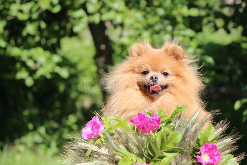 Ritratto del cane pomeranian adorabile con i fiori rosa di estate sul fondo di verde della natura immagine stock