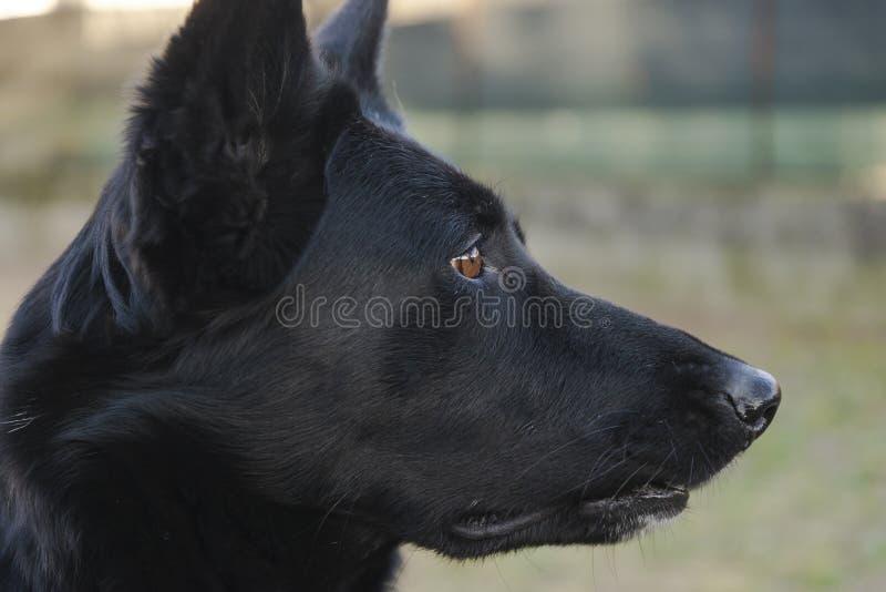 Ritratto del cane puro nero della razza del pastore tedesco fotografia stock libera da diritti