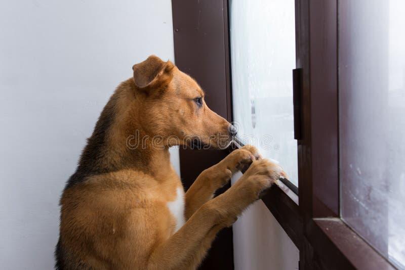 Ritratto del cane solo che esamina finestra sul balcone fotografia stock libera da diritti