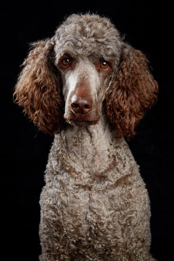 Ritratto del cane in studio immagine stock libera da diritti