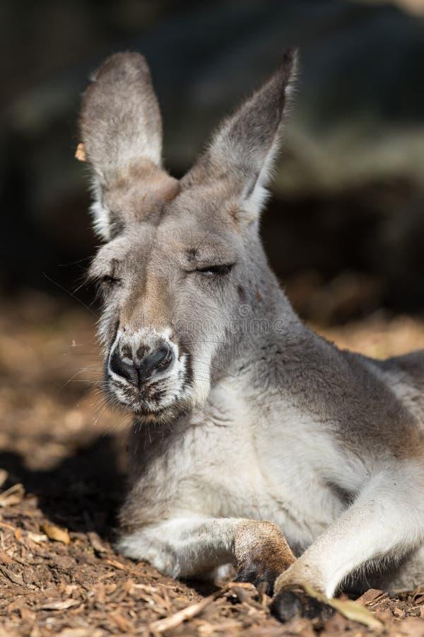 Ritratto del canguro australiano con i grandi occhi marroni luminosi che esaminano primo piano la macchina fotografica e gli asso fotografia stock