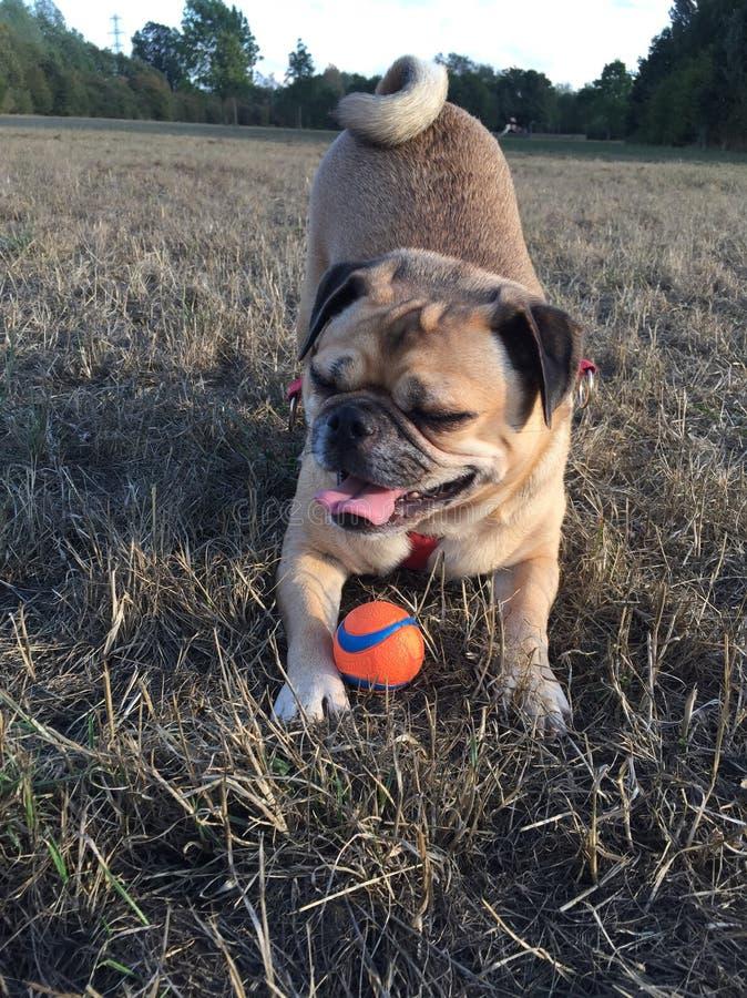 Ritratto del carlino dell'arco del gioco del cane su erba con espressione facciale divertente fotografie stock