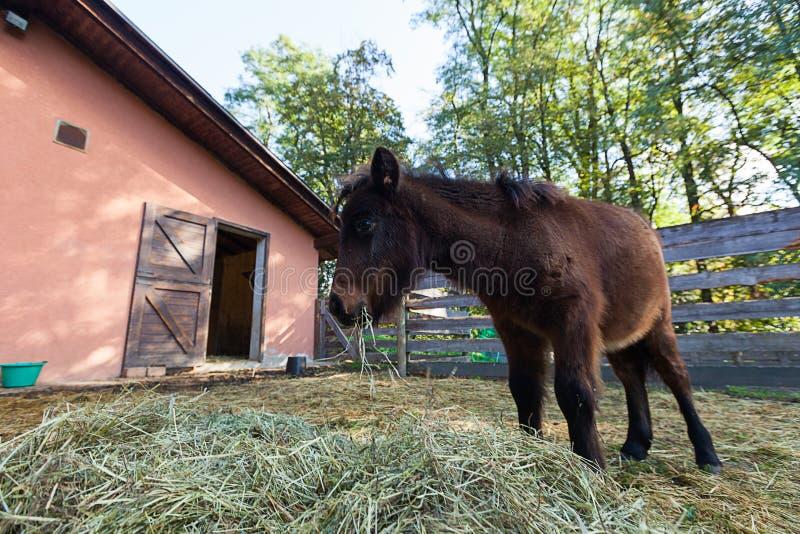 Ritratto del cavallino dalla stalla nel recinto fotografia stock