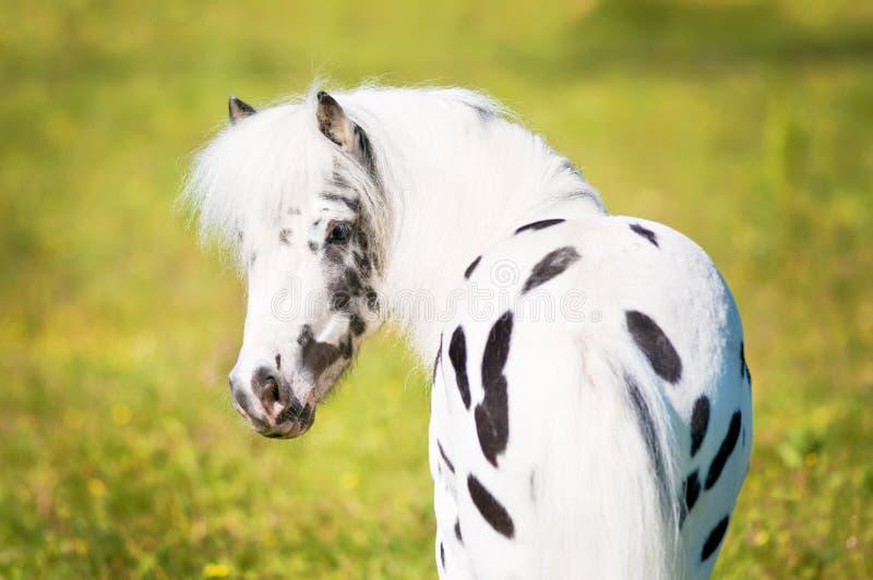 Ritratto del cavallino di Appaloosa immagine stock