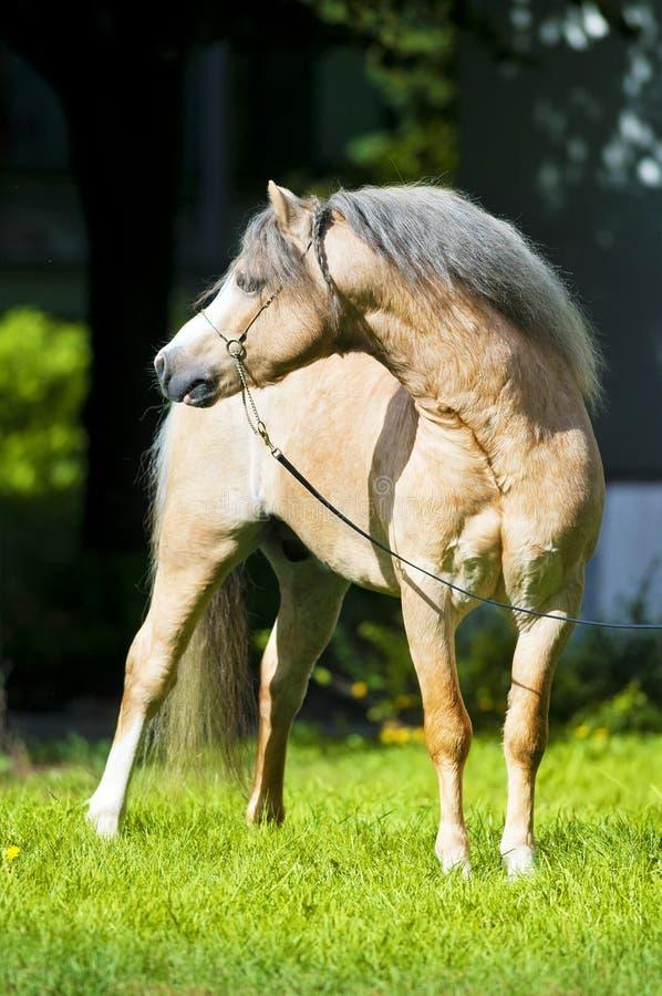 Ritratto del cavallino di lingua gallese del Palomino in estate fotografia stock