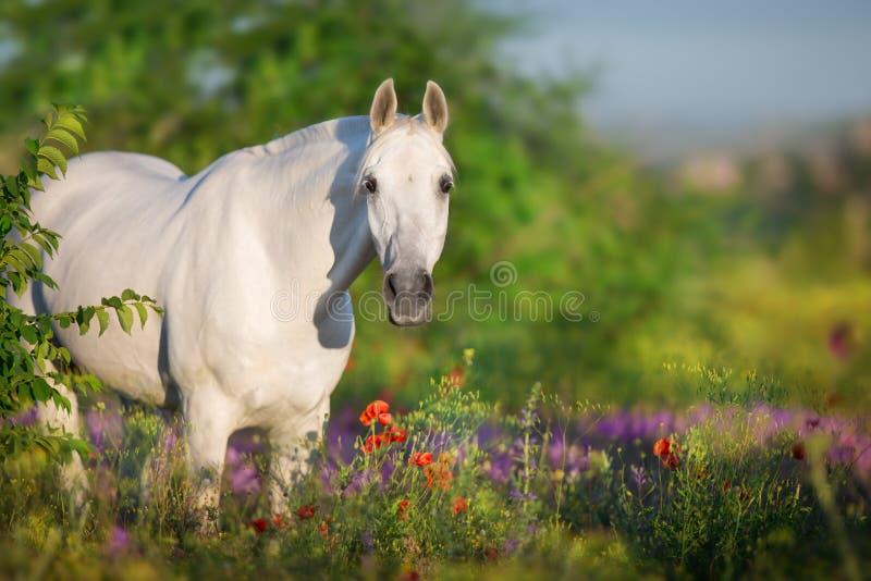 Ritratto del cavallo bianco in fiori fotografia stock libera da diritti
