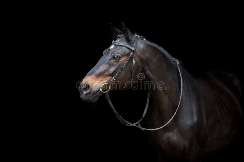 Ritratto del cavallo in briglia fotografia stock libera da diritti