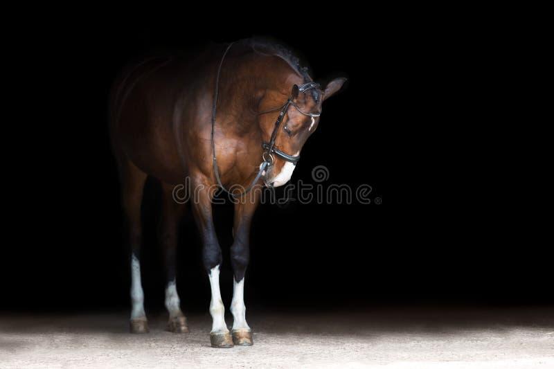 Ritratto del cavallo in briglia immagini stock libere da diritti