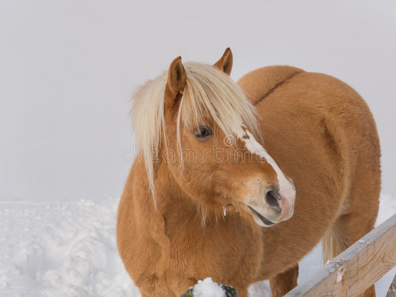 Ritratto del cavallo del haflinger nei prati della montagna in pieno di neve fotografie stock