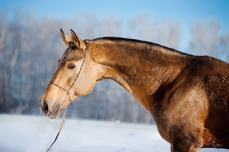 Ritratto del cavallo di Akhal-teke nell'inverno immagine stock libera da diritti