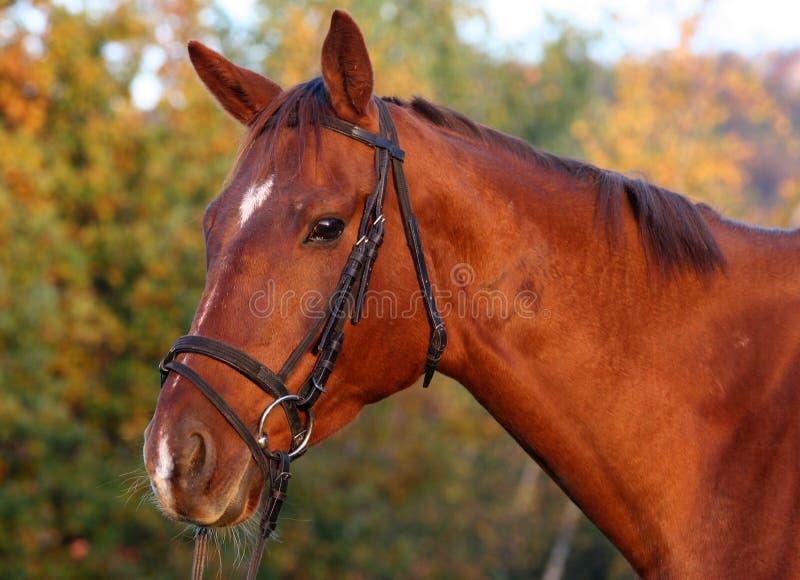 Ritratto del cavallo di baia immagini stock libere da diritti