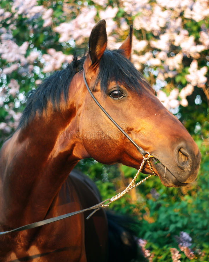 Ritratto del cavallo di baia al fondo del cespuglio del fiore nell'ultimo raggio del sole immagini stock