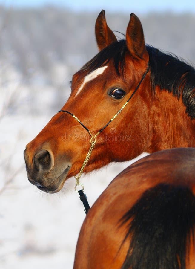 Ritratto del cavallo di baia in inverno immagini stock libere da diritti