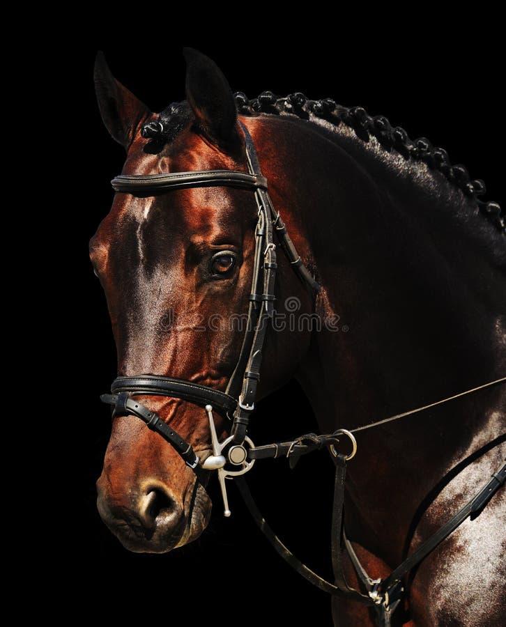 Ritratto del cavallo di baia isolato sul nero immagine stock libera da diritti