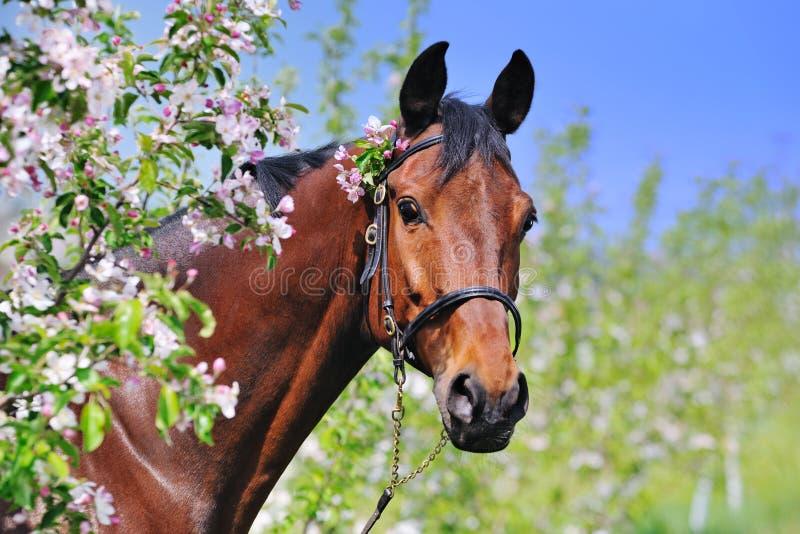 Ritratto del cavallo di baia nel giardino di primavera immagini stock libere da diritti