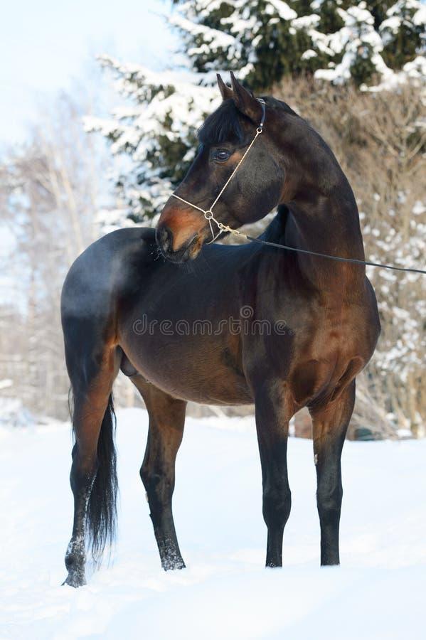 Ritratto del cavallo di baia nell'inverno fotografie stock