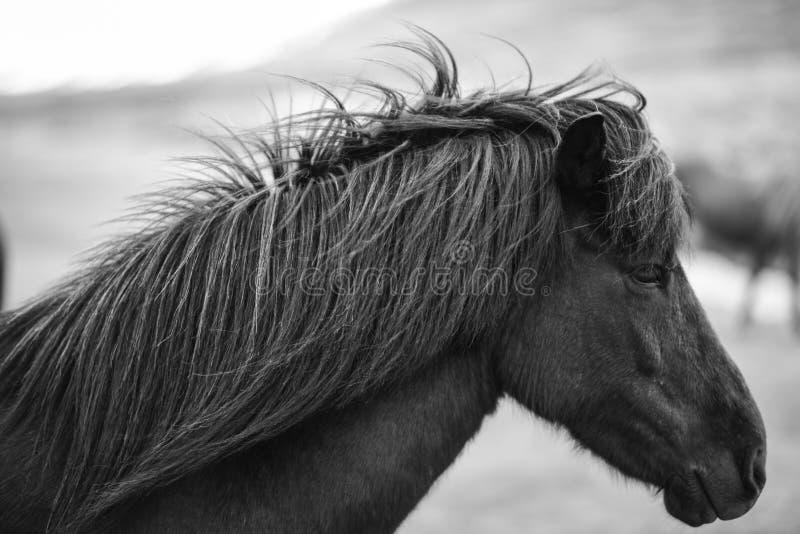 Ritratto del cavallo islandese in bianco e nero fotografia stock libera da diritti