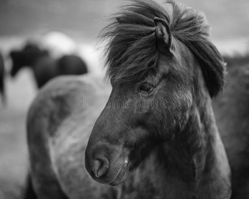 Ritratto del cavallo islandese in bianco e nero immagine stock libera da diritti