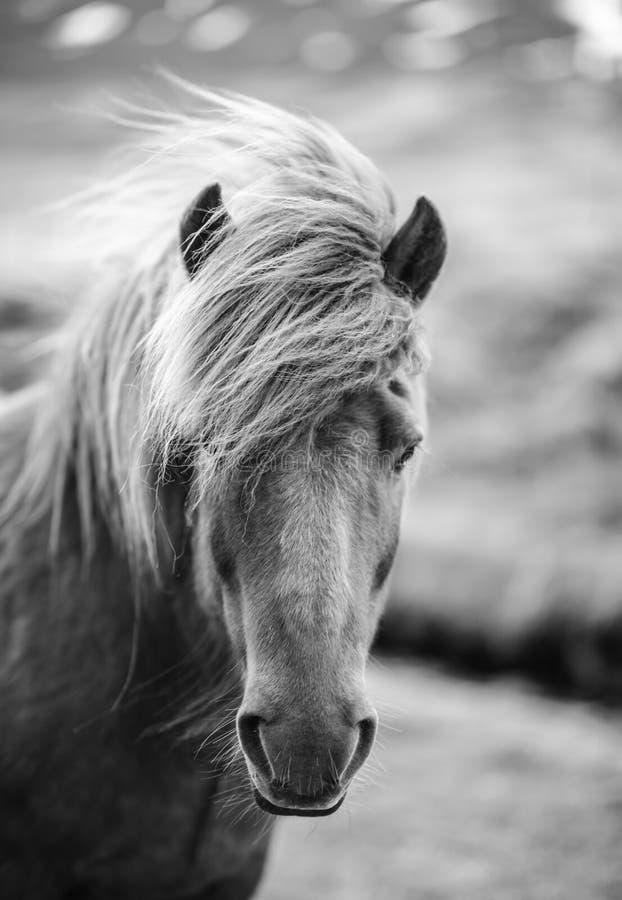 Ritratto del cavallo islandese in bianco e nero immagine stock