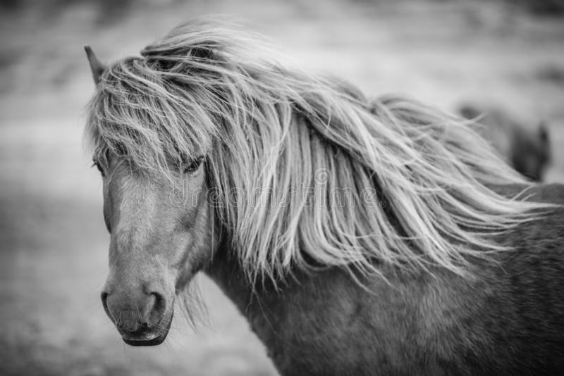 Ritratto del cavallo islandese in bianco e nero fotografie stock