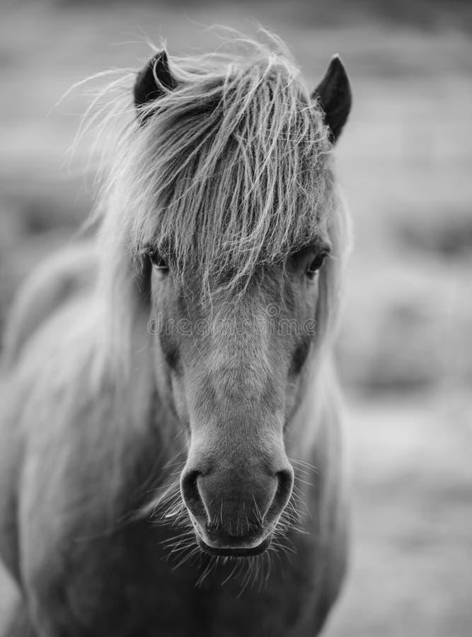 Ritratto del cavallo islandese in bianco e nero fotografia stock