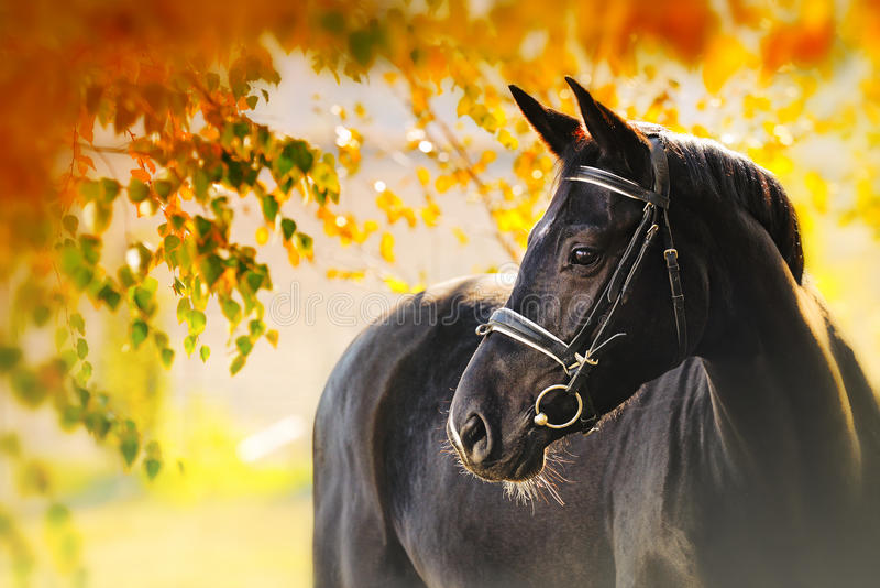Ritratto del cavallo nero in autunno immagine stock