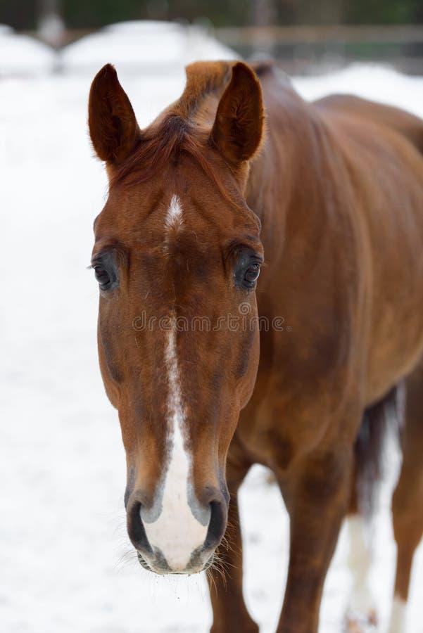 Ritratto del cavallo pezzato domestico che cammina nel recinto chiuso della neve nell'inverno immagini stock
