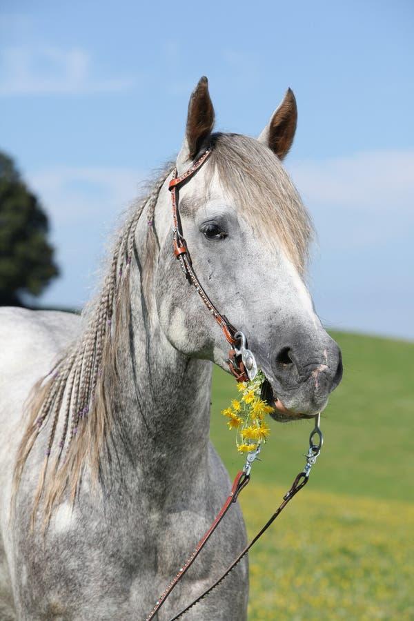 Ritratto del cavallo quarto che tiene fiore giallo fotografie stock libere da diritti
