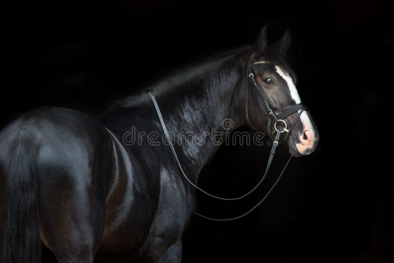 Ritratto del cavallo sul nero fotografia stock