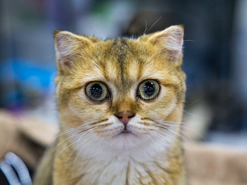 Ritratto del cincillà dorato della razza allegra felice del gatto Selettivo, fuoco immagine stock libera da diritti