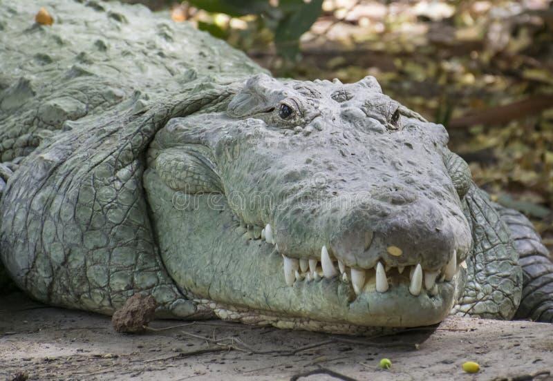 Ritratto del coccodrillo immagini stock