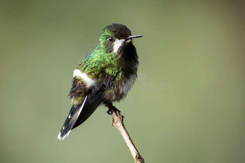 Ritratto del colibr? verde di Thorntail, femmina, Ecuador fotografie stock