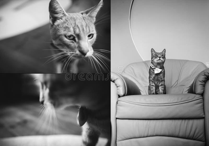 Ritratto del collage di un gatto grigio sveglio che si rilassa sulla poltrona barrocco Foto in bianco e nero di Pechino, Cina fotografia stock