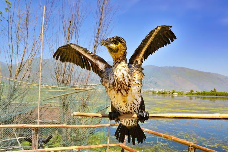 Ritratto del cormorano fotografia stock