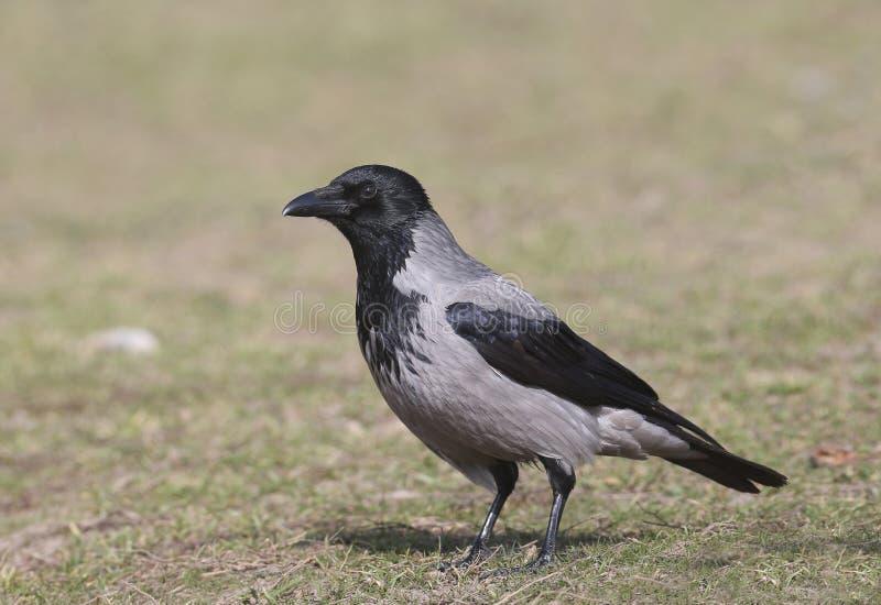 ritratto del corvo incappucciato fotografia stock