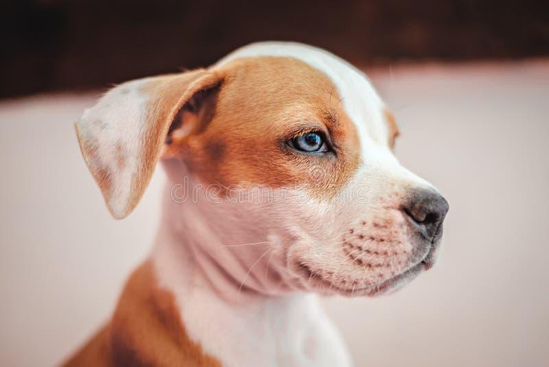 Ritratto del cucciolo di Amstaff fotografie stock libere da diritti
