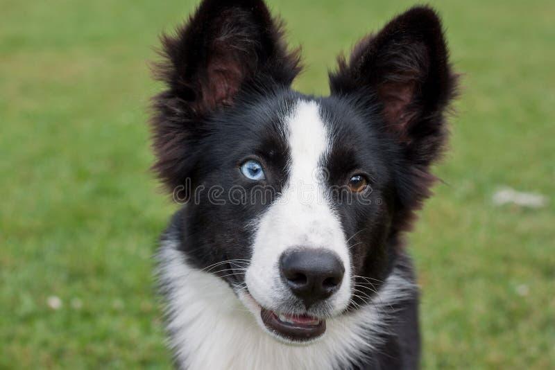 Ritratto del cucciolo yakutian sveglio di laika con differenti occhi Fine in su Animali da compagnia fotografia stock libera da diritti