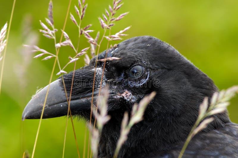 Ritratto del dettaglio del corvo nascosto in erba Corvo nero dell'uccello con il becco aperto che si siede sul prato Primo piano  immagine stock
