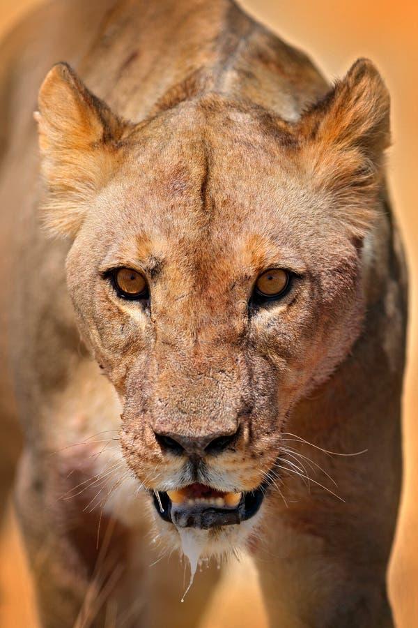 Ritratto del dettaglio del fronte del leone Bleyenberghi di Leo della panthera in Etocha NP, la Namibia, Africa Comportamento ani fotografia stock libera da diritti