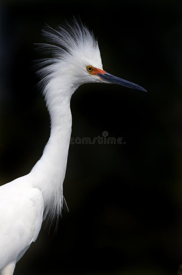 Ritratto del Egret di Snowy nei colori di allevamento immagini stock