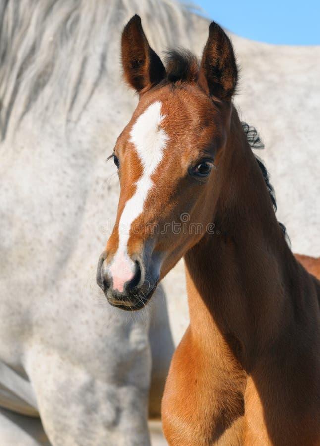 Ritratto Del Foal Della Baia Fotografie Stock