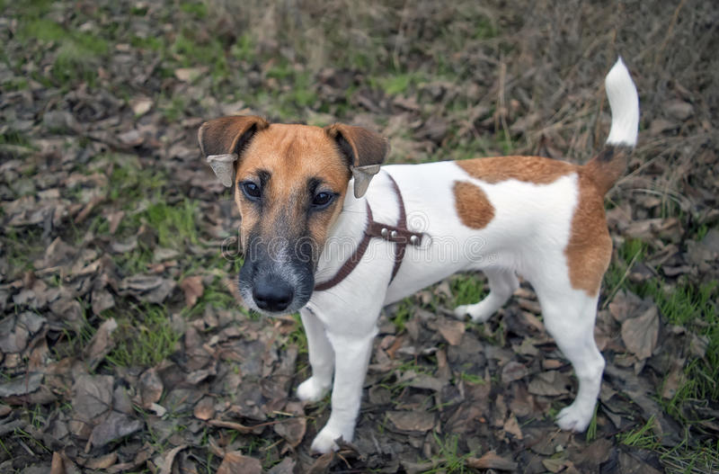 Ritratto del fox terrier, di giovane cane, pesantezza sulle orecchie immagine stock libera da diritti