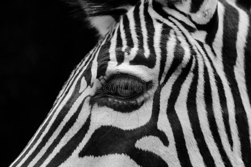 Ritratto del fronte della zebra fotografie stock libere da diritti