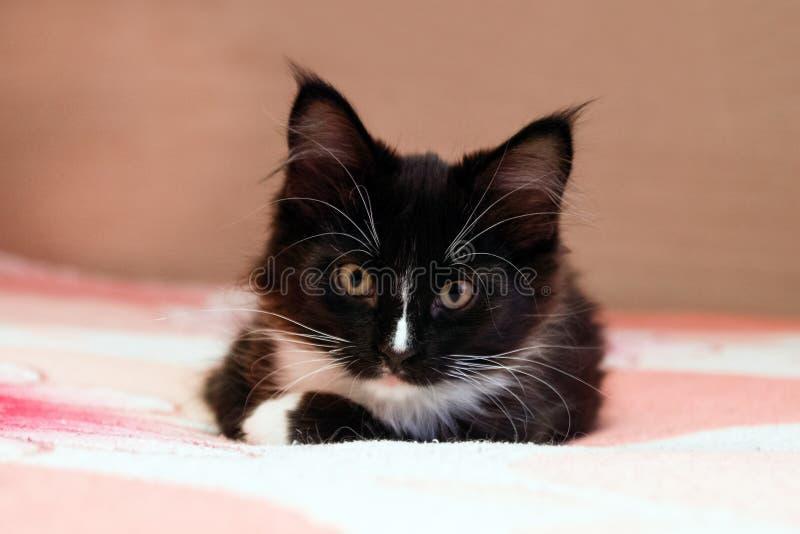 Ritratto del gattino in bianco e nero dai capelli lunghi adorabile che si trova su un letto immagine stock libera da diritti